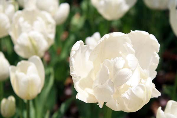 白いチューリップも綺麗な~。