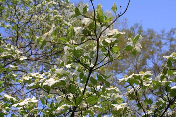 空と花水木