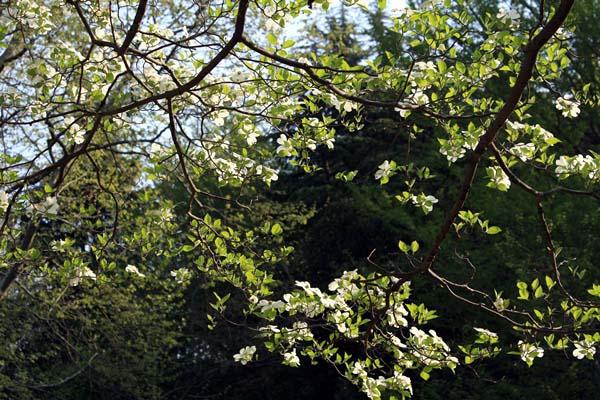 コンビニ側から入ると、ジャスト、花水木の林。