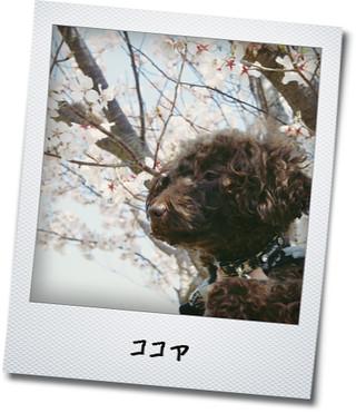 kokoa_20120411004614.jpg