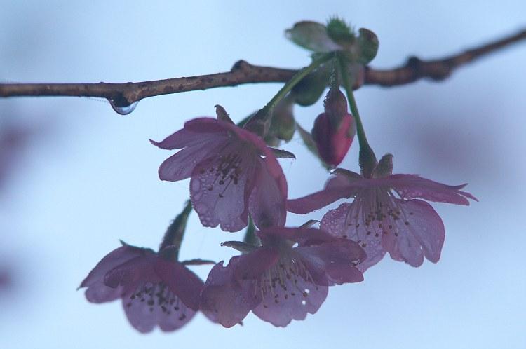 河津桜の咲く頃 2