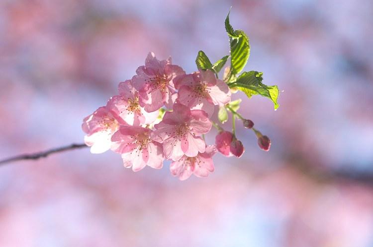 河津桜の咲く頃 3