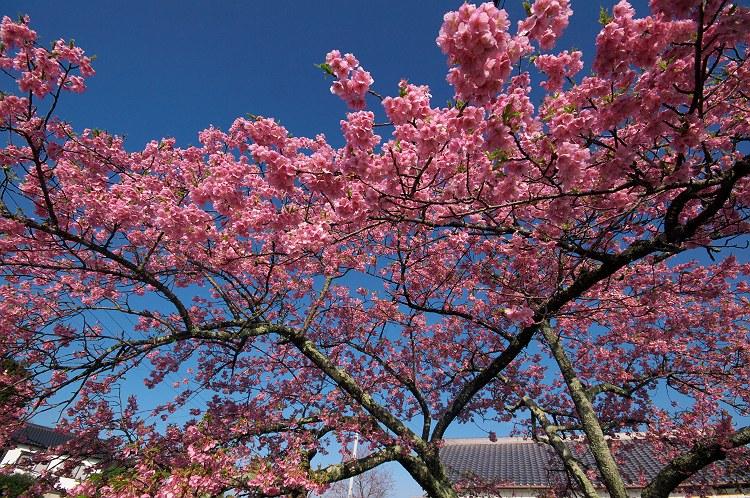 河津桜の咲く頃 4