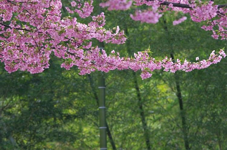 朝日山城跡の河津桜 1