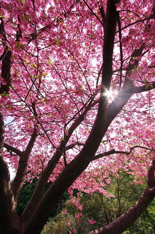 朝日山城跡の河津桜 2