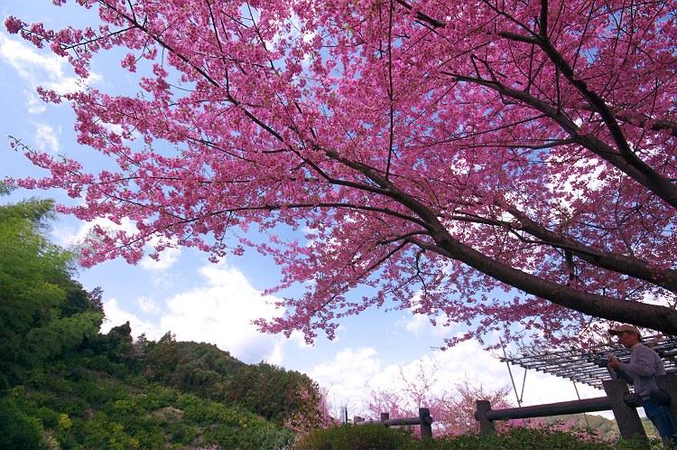 朝日山城跡の河津桜 3