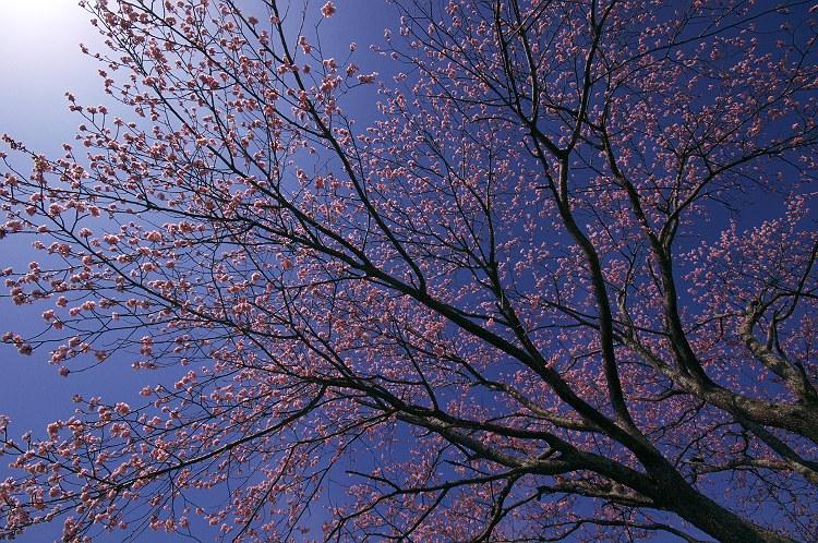 早咲きの一本桜