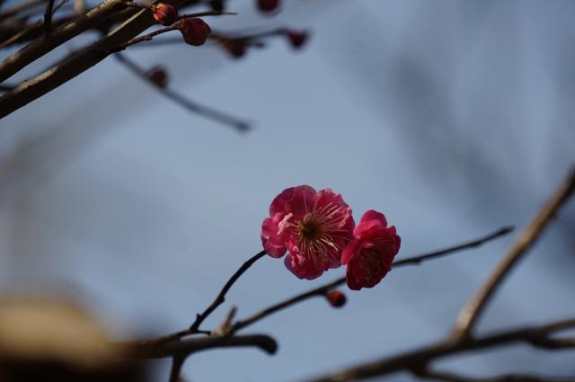 咲いた紅梅