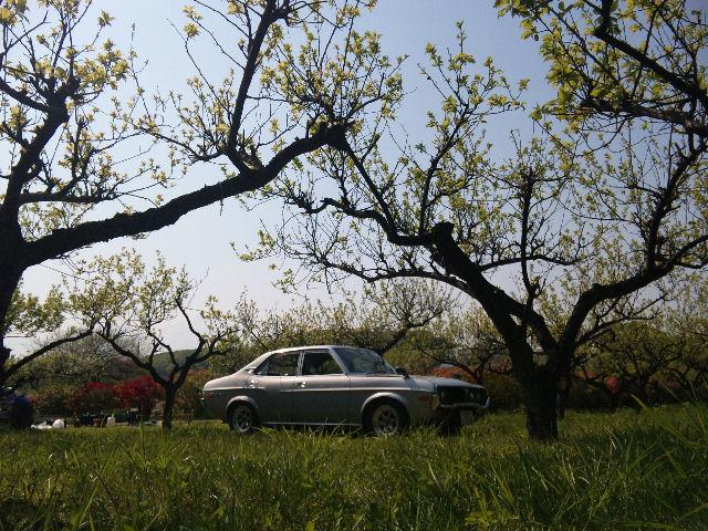 マツダルーチェと新緑の梅林