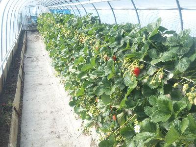石垣イチゴ
