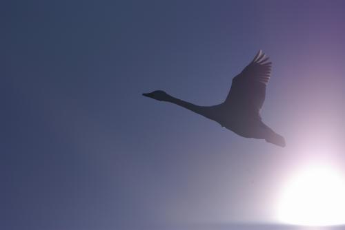 IMGP2731白鳥 後光