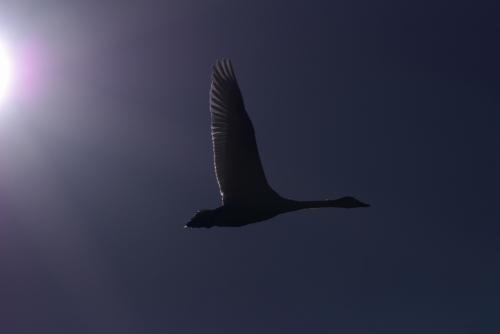20100123白鳥 調整
