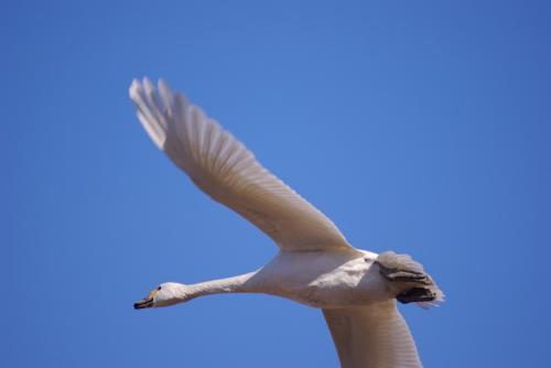 IMGP2587白鳥 下