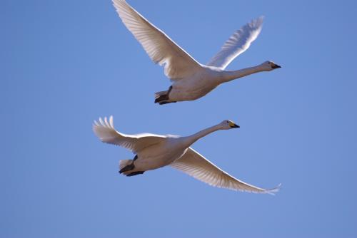 IMGP2615白鳥 X