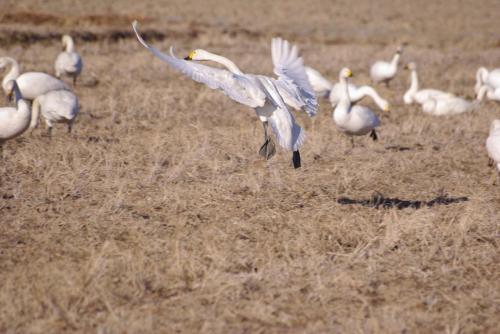 IMGP2874白鳥 手羽先