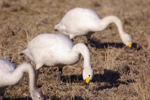 IMGP2904白鳥 食事
