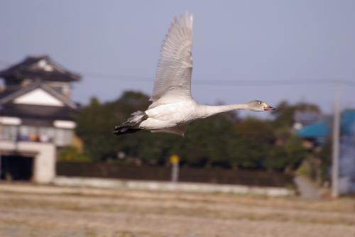 IMGP2910白鳥 子供