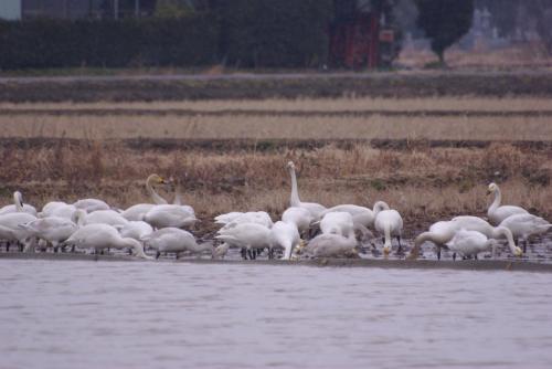 IMGP2971雪の白鳥