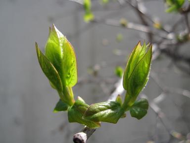 蝋梅の新芽ちゃん