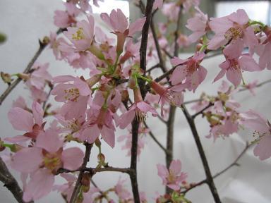 オカメ桜だって~!!