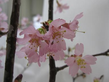 可憐な桜ですねぇ♪