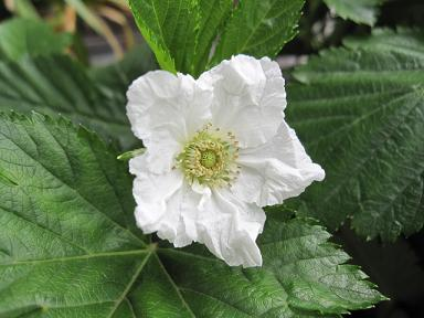 ラズベリーの花♪