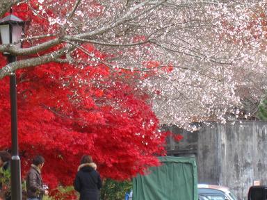紅葉と桜(≧▽≦)♪