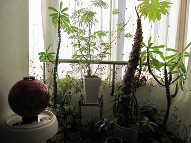 窓際エリアの植物達♪
