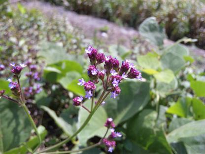 小さい紫の花s