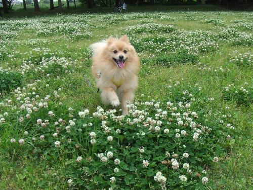公園白つめ草~2♪