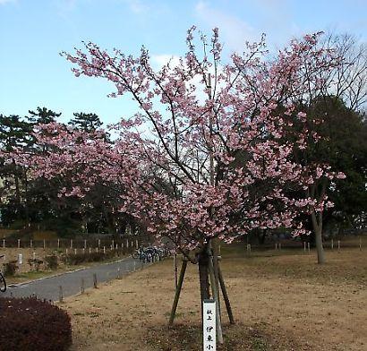 駿府公園伊東小室桜-2