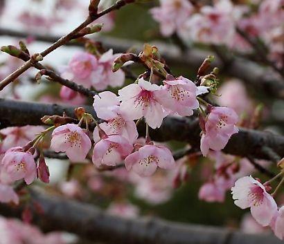 駿府公園伊東小室桜-3