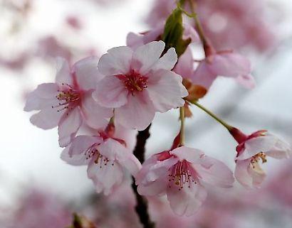 駿府公園伊東小室桜-4