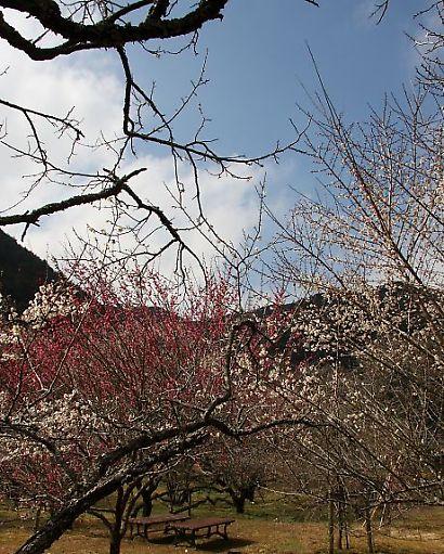 洞慶院の梅花-4