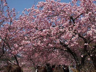 河津桜-4