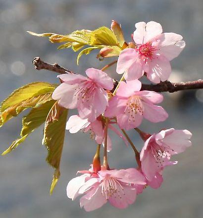 河津桜-6