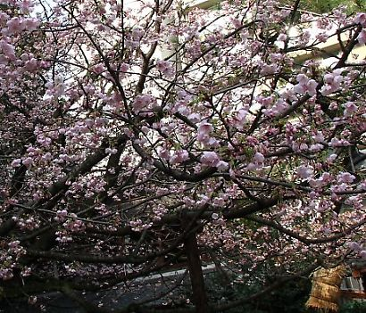 浮月桜(桜)-4