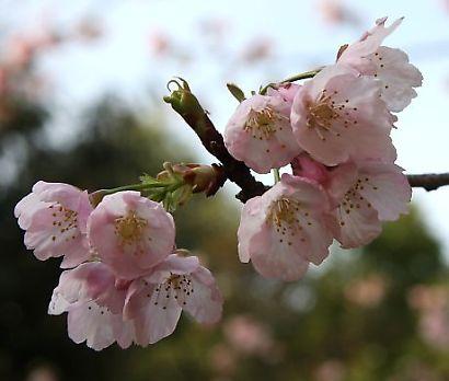 浮月桜(桜)-5