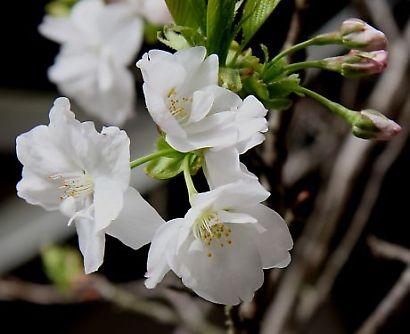 浅間神社の枝垂れ桜-5