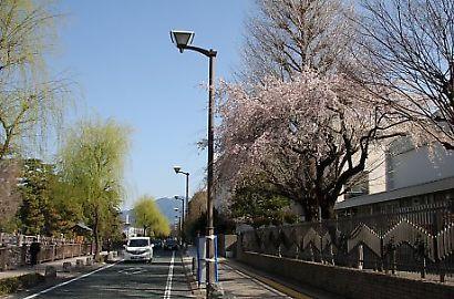 駿府公園の桜-1
