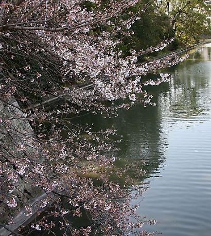 駿府公園の桜-4