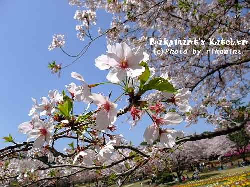 DSCF桜2