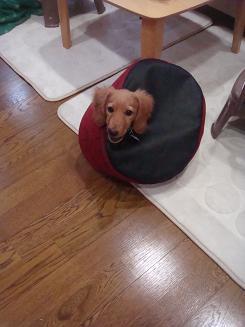 懲りない犬