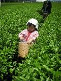 茶摘みッ子3