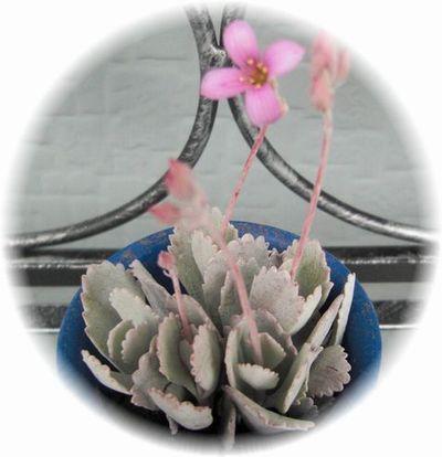 白銀の舞(お花&蕾)