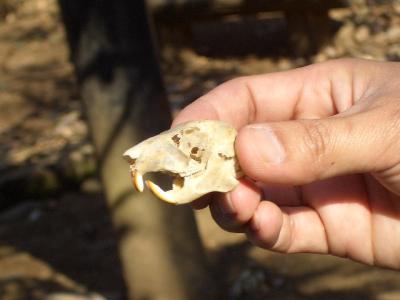 リス頭蓋骨