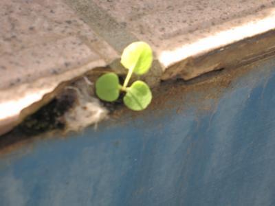 ちいさい芽