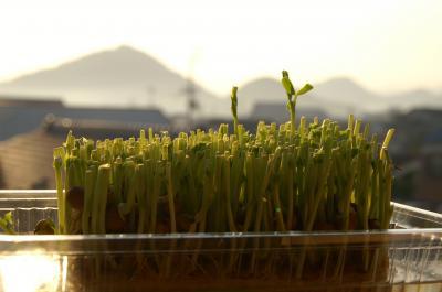 20101018緑豆