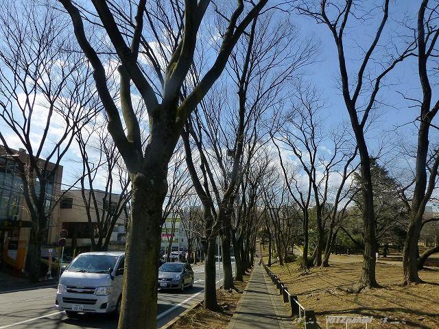 美しが公園横ケヤキ並木 (2/21)