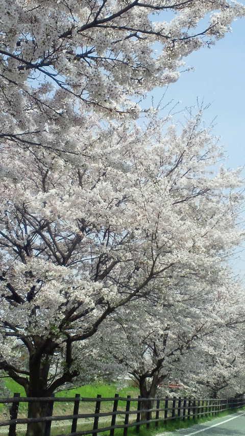 佐保川 桜1